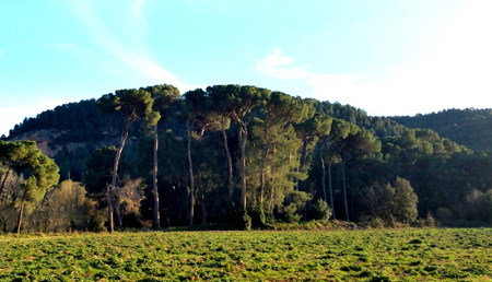The pine grove of Can Ferrer del Coll